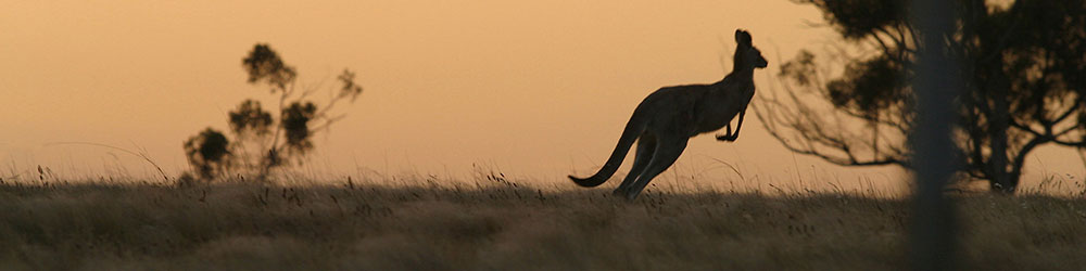 kangaroo hunting