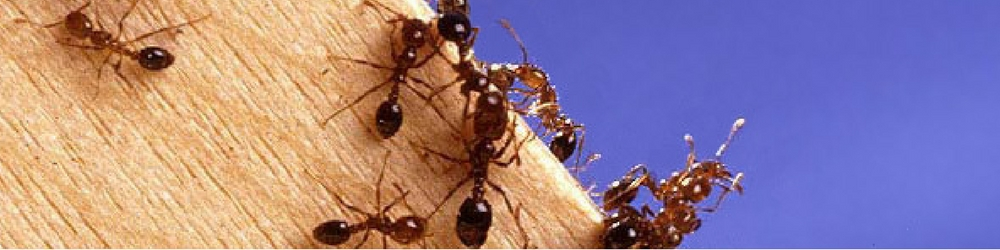 Fire ants, biosecurity